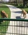 Une femme ayant un câlin par deux lions, elle a pris soin d'eux quand ils étaient petits !