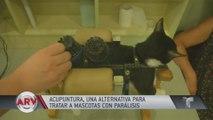 Novedoso: acupuntura para mascotas con parálisis