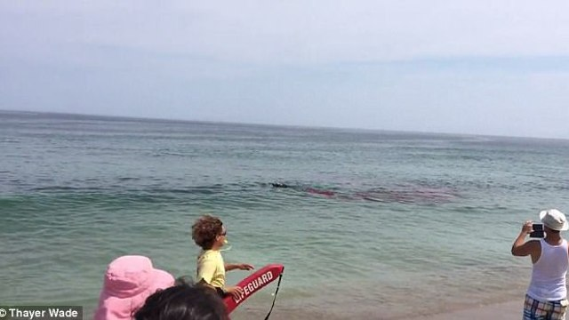 Terrifying moment surfers narrowly escape shark attack on Cape Cod as suspected Great White savages seal just feet from the shoreline