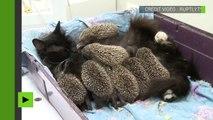 Trop mignon, une chatte allaite des bébés hérissons