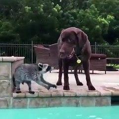 Perro y mapache nadan en piscina