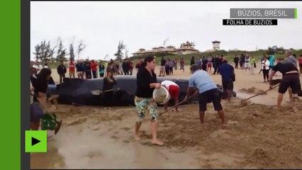 Brésil : une baleine à bosse qui s'est échouée sur une plage retourne à l'océan