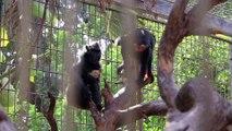 Histoire d'amour maternel entre une macaque et un poulet