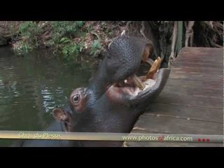 Jessica the Hippo - South Africa Travel Channel 24 - Wildlife