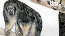 Un singe extrêmement rare enfin localisé dans la jungle amazonienne