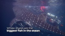 Scuba Diving Encounters: Diving With Whale Sharks In The Derawan Islands, Indonesia