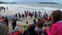 Des brésiliens sauvent une baleine à bosse échouée
