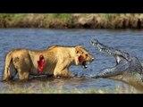 Most Amazing Wild Animal Attacks , crocodile vs crocodile , Prey Animals vs Predator Fight Back