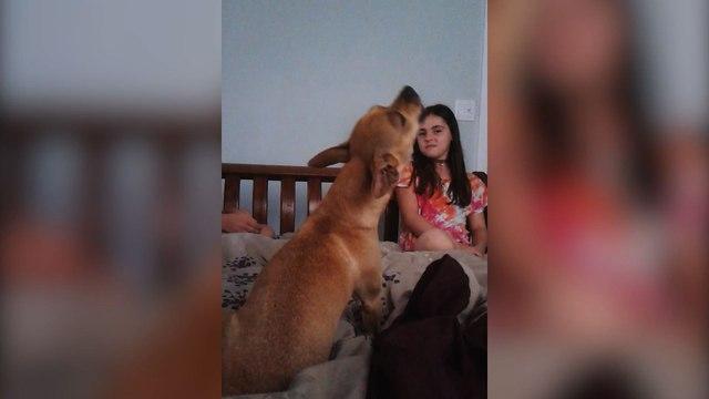 Musical Chihuahua Sings Along To Annie