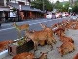 À cerf occupant de de route le le le le la la télé horde nara parc de Nara nous cerf, prendre un endroit frais et occupé la route incroyable