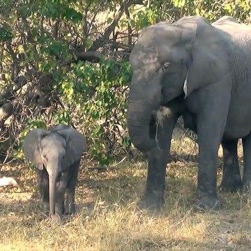 Un bébé éléphant s'amuse devant la caméra