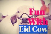 Shocking and Funny Cow Videos   Cow Fight   Eid 2017