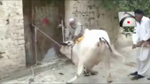 Qurbani Bakra Eid 2 Punjabi Totay Funny Tezabi Totay 2017