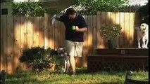 Et planche chien vieux Entrainer entraînement semaine an 1 labrador retriever chester avant / après 2