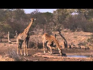 Giraffes drinking water, Stock Footage For Sale - AFRICAN WILDLIFE