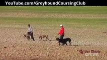 Khargosh ka shikar | Whippet | Galgos y liebres | Hare coursing | Lurchers | Greyhound Racing 2017