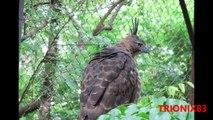 Aguilas – Aguilas Cazando: LAS AGUILAS MAS GRANDES DEL MUNDO – Aguila cazando