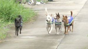 Stray Dogs In Thailand Help Keep Streets Safe