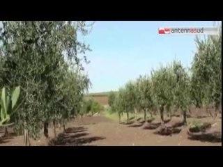 TG 11.03.15 Brindisi: strage di ulivi per far spazio a pannelli fotovoltaici