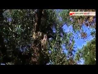 "TG 11.03.15 Xylella, al via la terapia ""salva ulivi"""