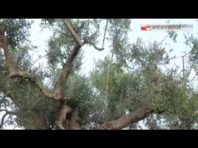 TG 12.03.15 Xylella, domenica delle Palme senza ramoscelli di ulivo