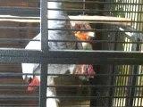 mon perroquet qui danse