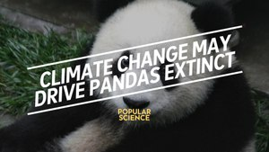 Climate Change Could Drive Pandas Extinct