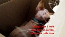 Nougat Cat 5 mois  joue avec un carton,  devon rex male roux
