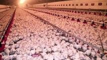La nouvelle vidéo choc de L214, infiltré dans un élevage de poulet
