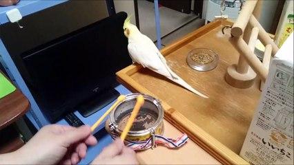 Un oiseau voit son propriétaire taper sur un tambour, le rejoint et commence à danser.