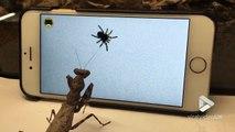 L'araignée dans l'écran d'iphone attire cette mante religieuse affamée !!