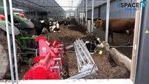 Aux Pays-Bas, 140 vaches bio dans une stabulation sur compost de bois déchiqueté