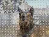 Malinois  Bergers Allemands