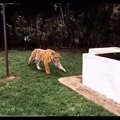 Someone sneaks behind a tiger, and the result is a laugh
