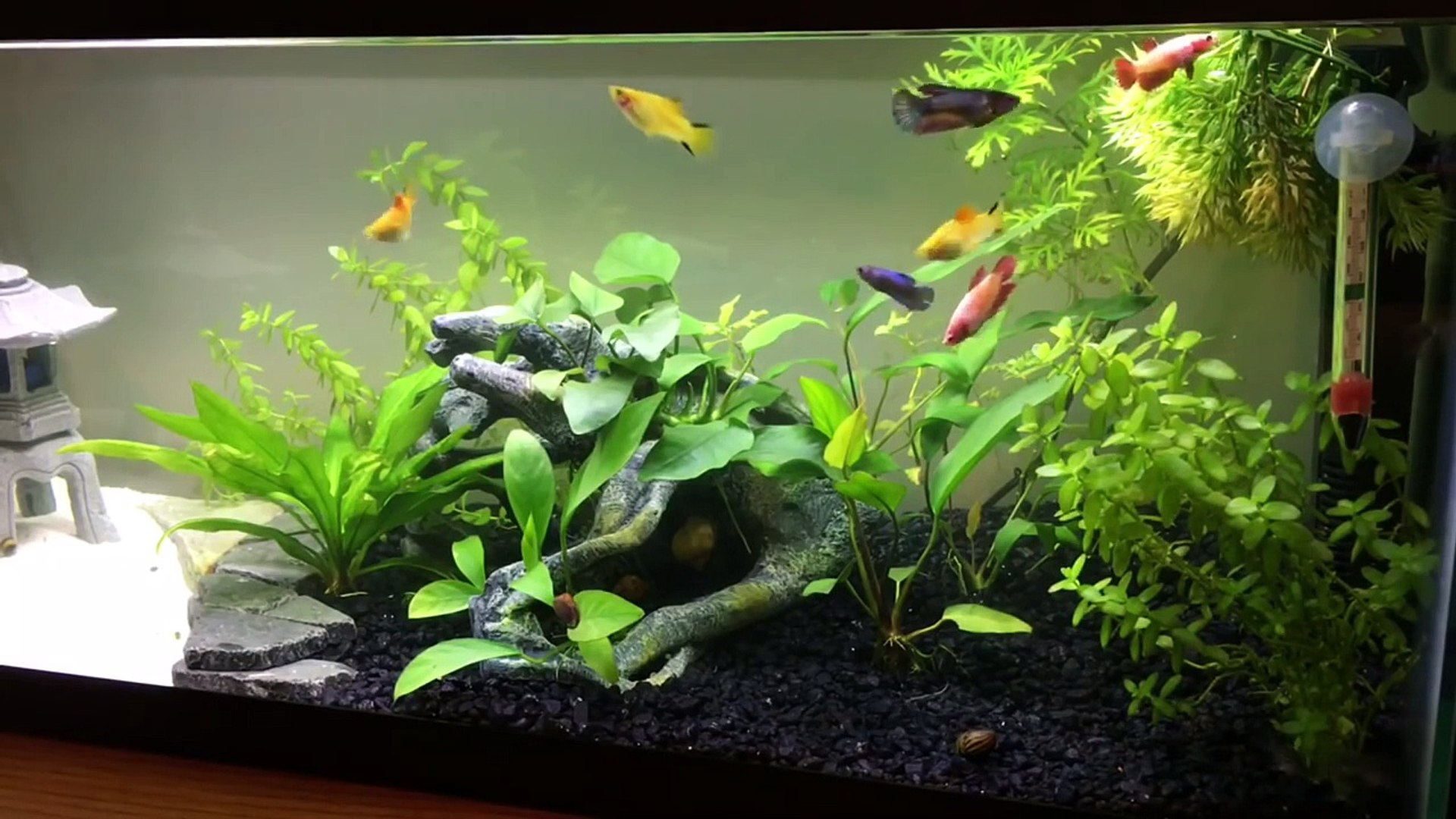 How to start a Female Betta Sorority or Community Tank - Vídeo Dailymotion