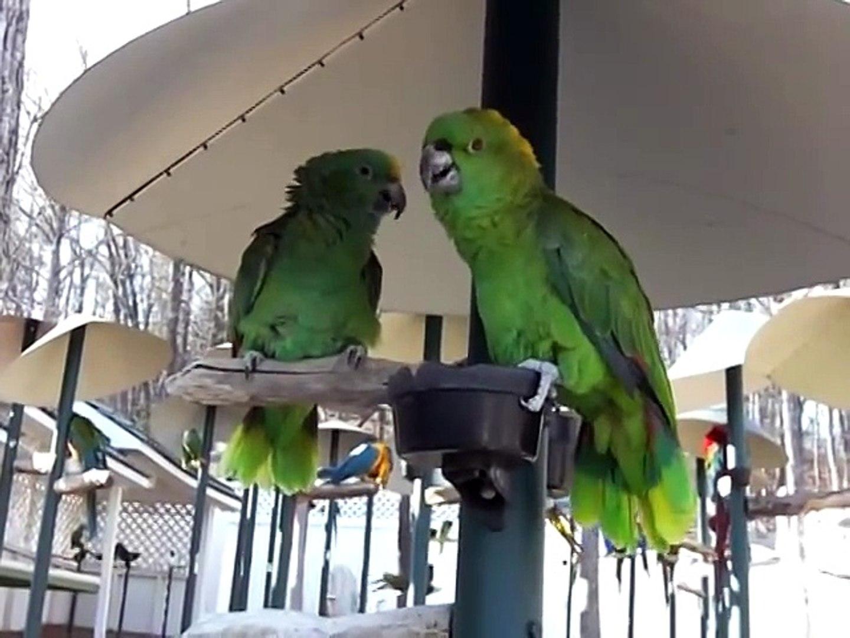 Sesleri Taklit Eden Papağan