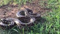 Hou la la! Très brave garçon asiatique Wow! Very Brave Asian Boy Catch A Big Python Snake By Hand - How To Catch Python