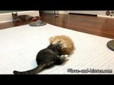 Adorable 10-Week-Old Kittens Master the Task of Playing Together