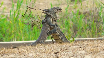 Monitor Lizards In Vicious Battle | SNAPPED IN THE WILD