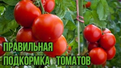 Подкормка помидоров в открытом грунте и теплице Дачные секреты для хорошего урожая томатов