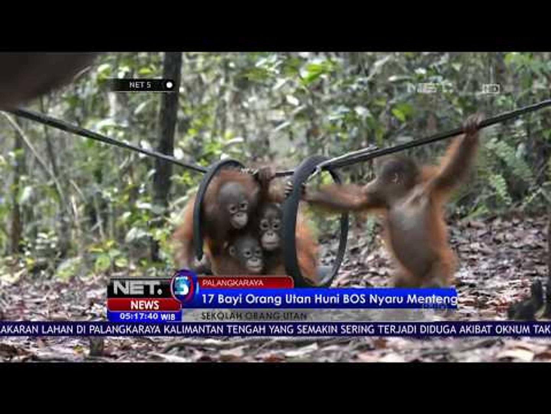 17 Bayi Orangutan Huni BOS Nyaru Mentang NET5