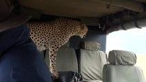 Un guépard pas si sauvage que ça tape l'incruste dans une voiture de touristes au kenya
