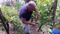 Les vendanges des dernières vignes d'Agen
