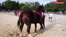 """Cheval breton. Les """"poids lourds"""" de la race au haras de Lamballe"""