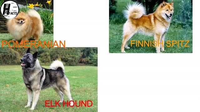 Indian Spitz Dog Fs | Hindi | INDIAN DOG BREEDS | HINGLISH FACTS