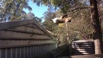 Maman Koala veut sauter dans l'arbre avec son bébé sur le dos... FAIL