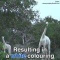 Beautiful white giraffes  now  rare in world.....BB Ki Vines-   Angry Masterji- Part 10    BB Ki Vines 7.4M views 4 days ago This time BB takes Titu Mama along to Bubbly sir. What will happen now? BB India Tour 3:42 Be Auladi ka wazifa   Aulad hone ka waz
