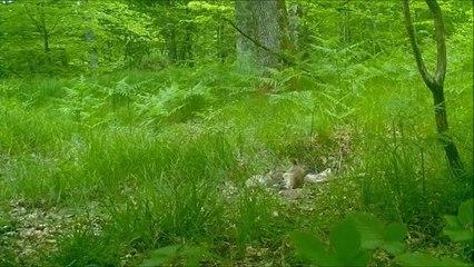Jura : vie de renards dans la Forêt de Chaux