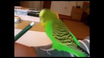 BIRDS CURSING COMPILATION AFRICAN GREY PARROT SWEARING MACAW CUSSING BUDGIE VULGAR COCKATOO