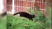 """Trận chiến không tưởng: 5 con mèo đầu hàng """"siêu chuột"""""""